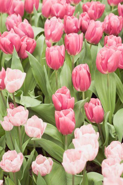 tulips keukenhof holland